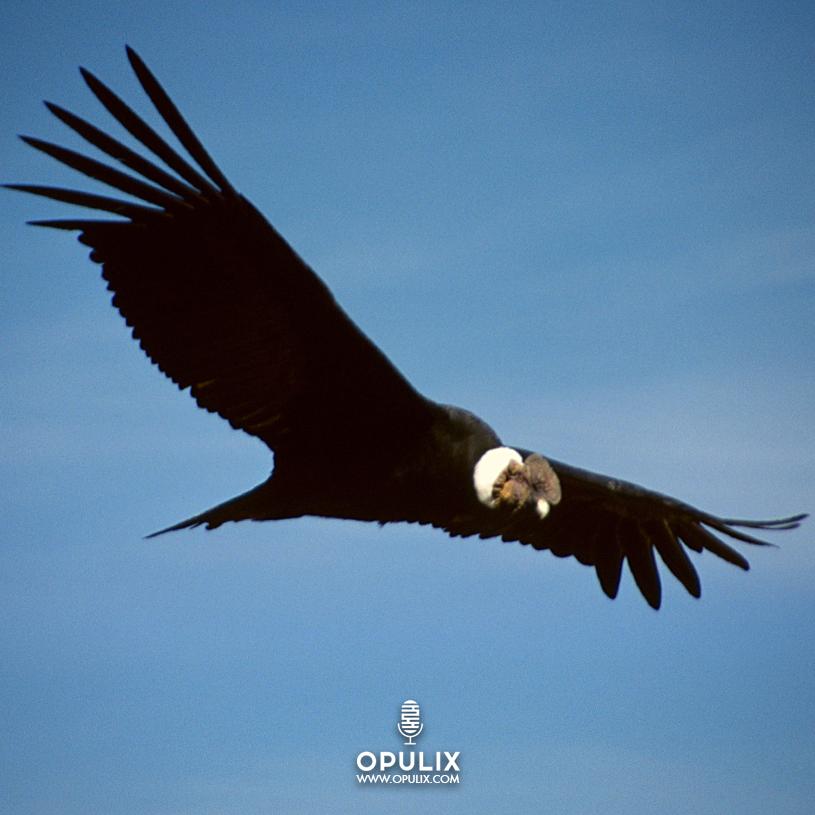Allá va el cóndor, con su majestuoso vuelo, traspasando montañas cubiertas de cielo y nieve.