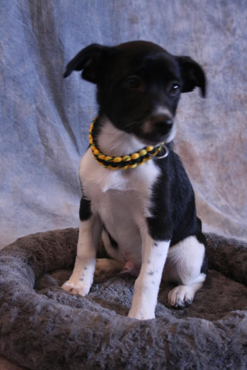 Adopt Sammy on Rat terrier mix, American eskimo dog