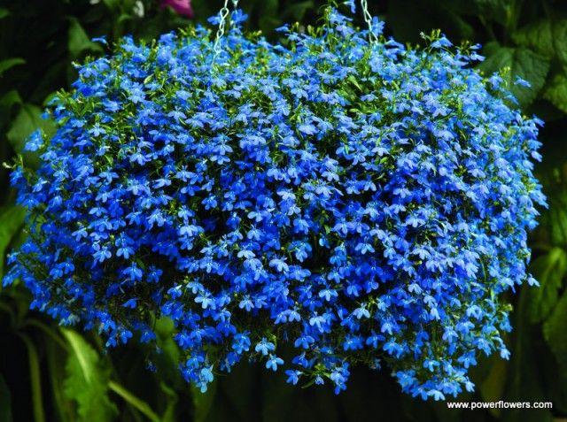 Kwiaty Balkonowe Najladniejsze Rosliny Plants Planting Flowers Ground Cover