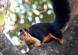 indian squirrel - Google-søk