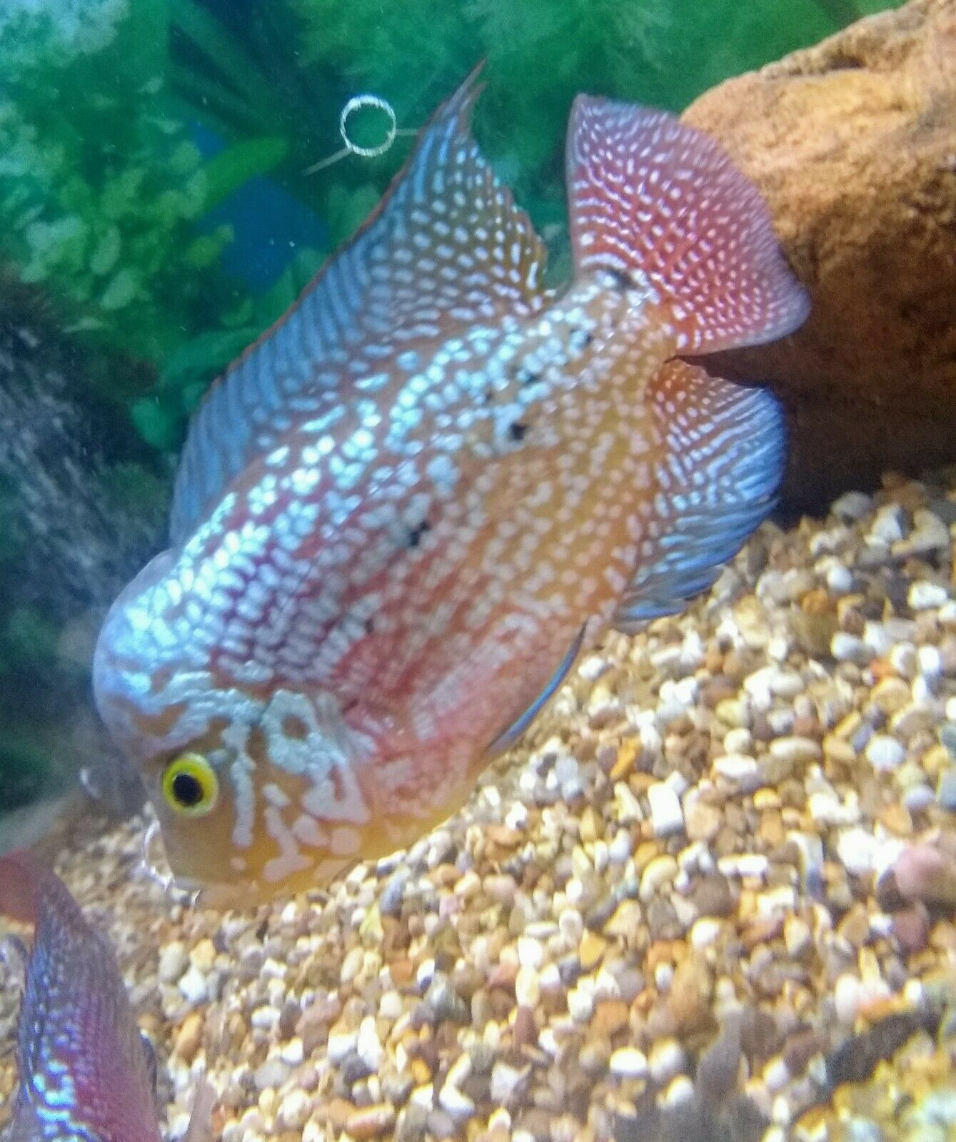Flowerhorn F2 King Kamfa male (With images) Parrot fish