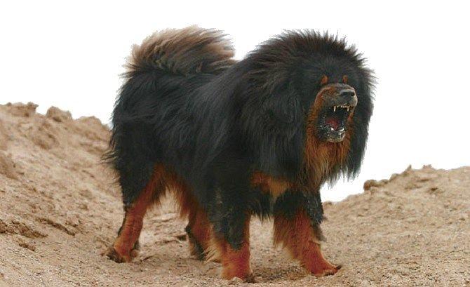 Chow Chow Vs Tibetan Mastiff Tibetan Mastiff Dog Breeds Dogs