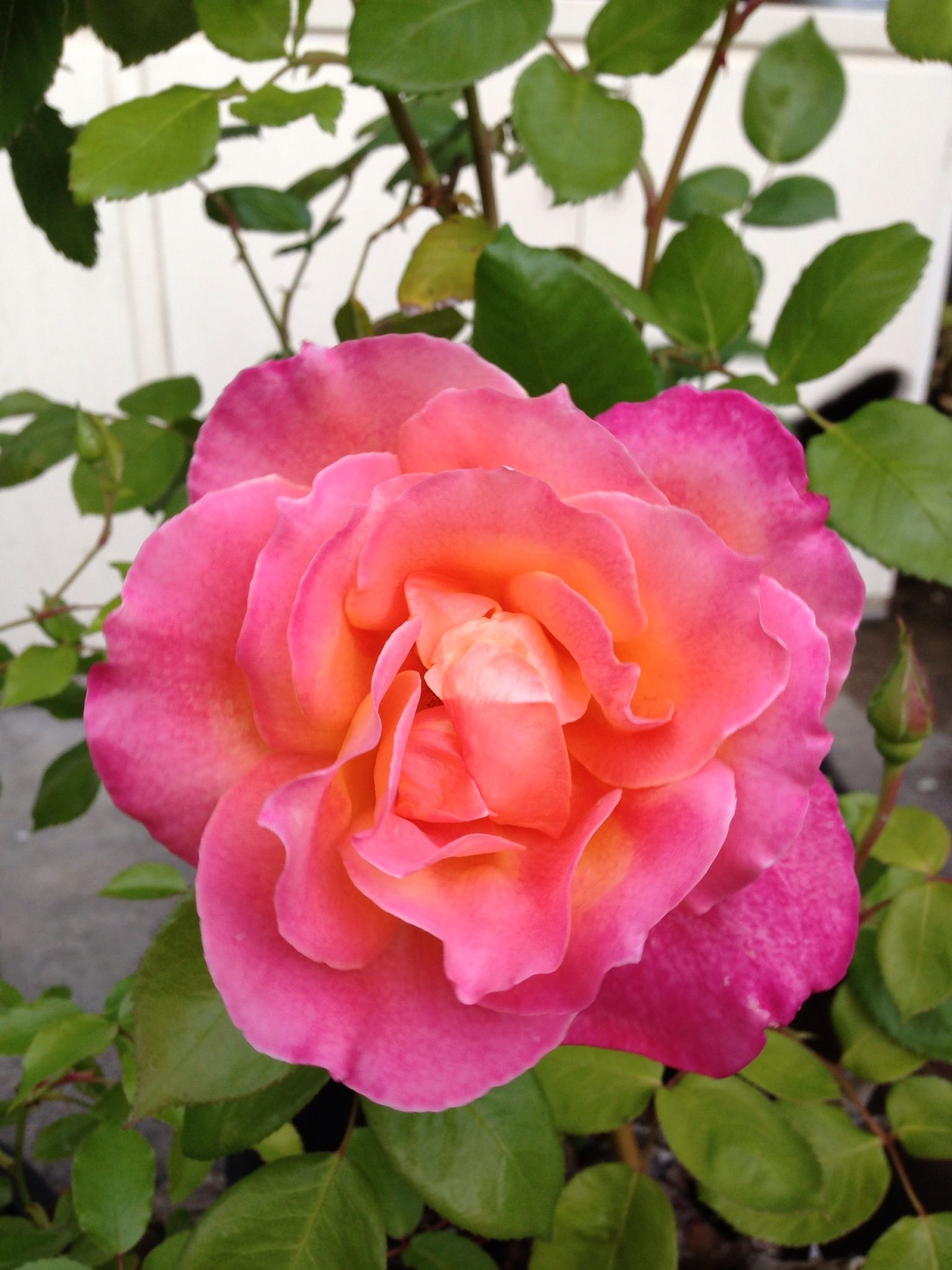 A lovely rose roses pinterest pink roses flowers and flowers a lovely rose izmirmasajfo