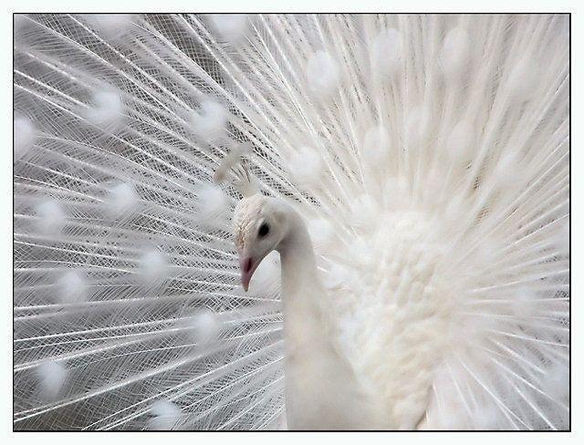 1111 Paon Lumiere Animaux Albinos Paon Albinos Paon Blanc