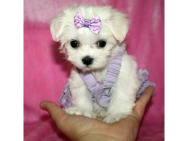 Home raise Maltese puppies available for adoption Teacup