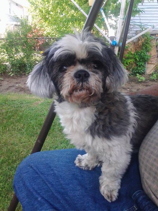 Lost Dog Shih Tzu In Springfield Ma Share Facebook Twitter Google Email Pet Name Princess Id 138357 Gender Female B Losing A Dog Shih Tzu Dogs