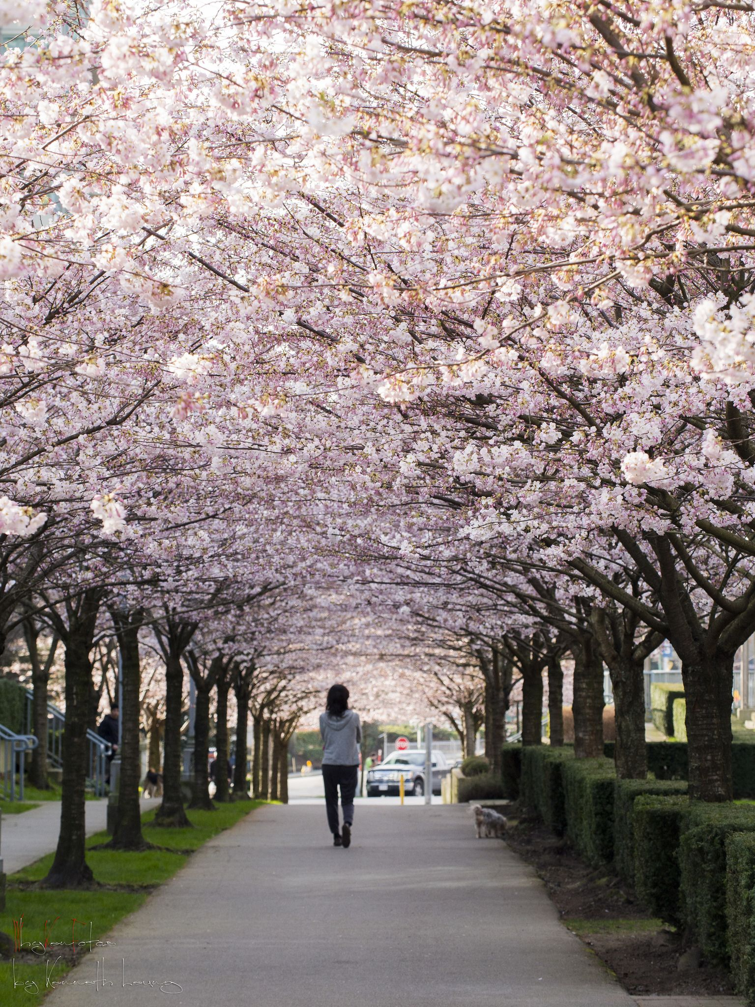 Cherry Blossoms 2015 Canada Travel Vancouver Places To Go