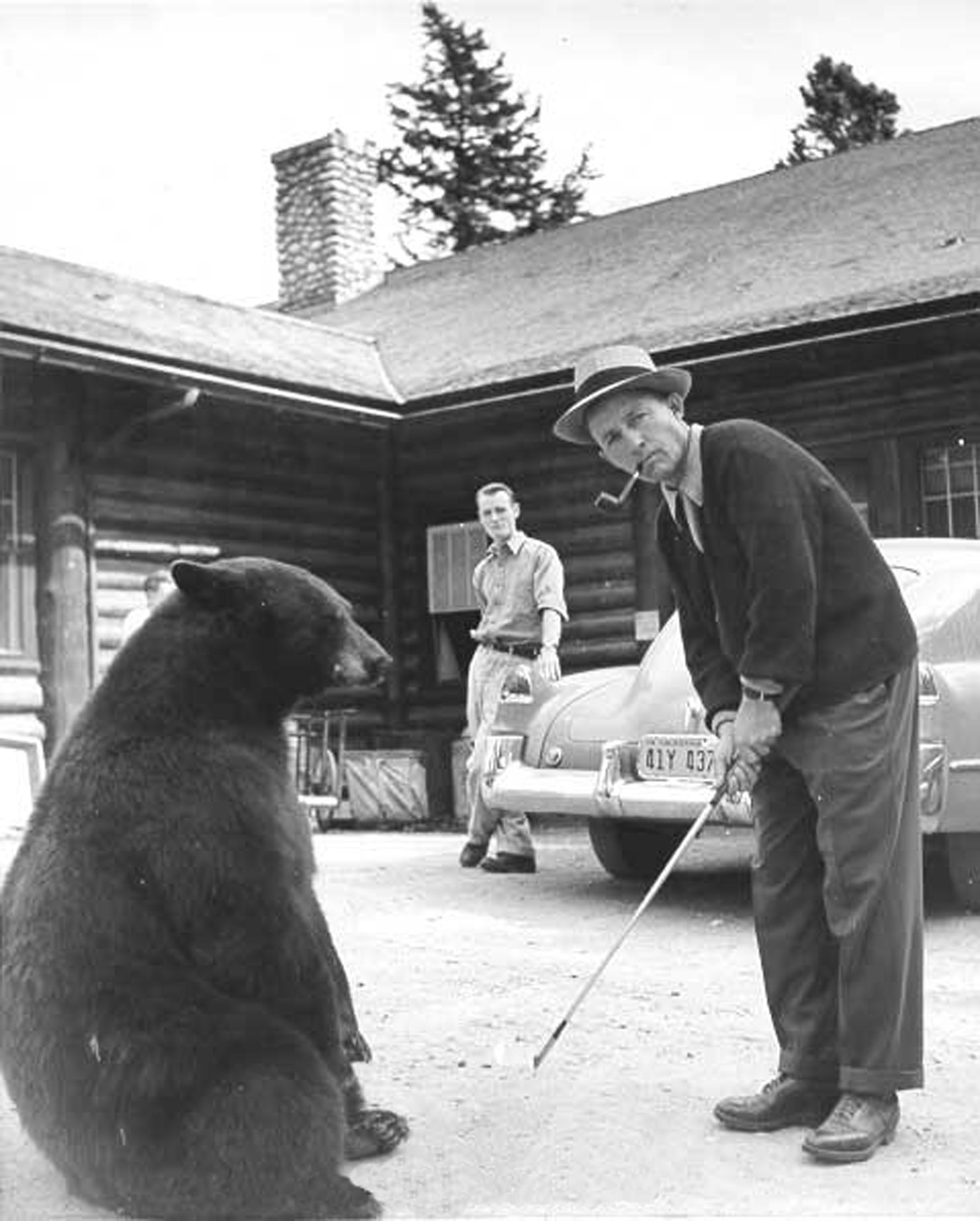 bing crosby playing golf with a bear at the fairmont jasper park lodge 1947