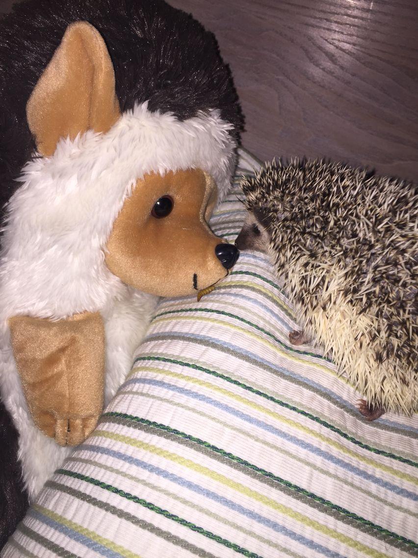 Hedgie meets Hedgie