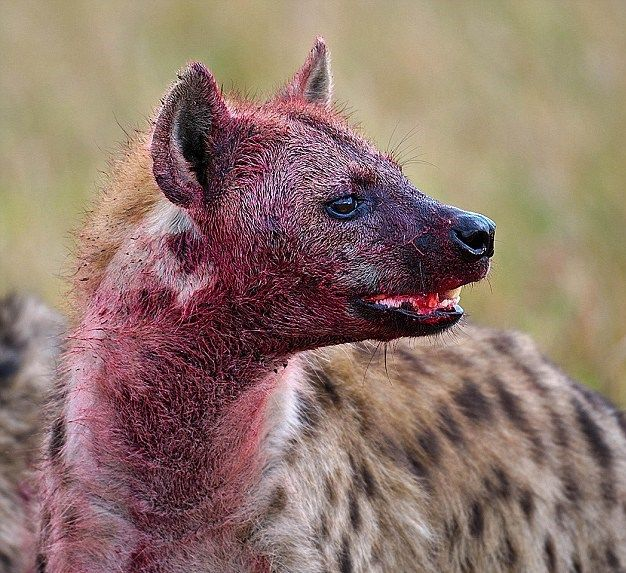 Image result for Images of Hyena with blood
