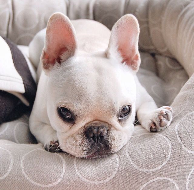 The Classic French Bulldog Stare French Bulldog Frenchie