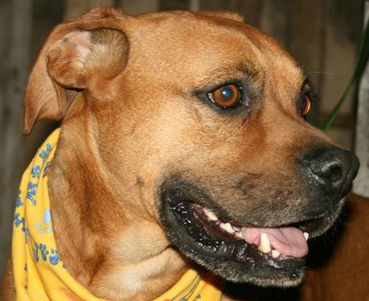 Meet Bruno a Petfinder adoptable Boxer Dog | Kokomo, IN | Pals for Paws holds pet adoptions every Saturday at the Carmel PETCO from 12 until 3. Located at:...