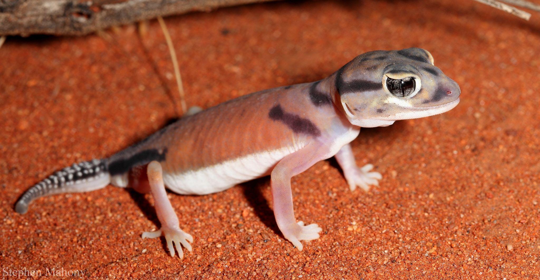 Nephrurus laevissimus Gecko, Lizard, Vertebrates