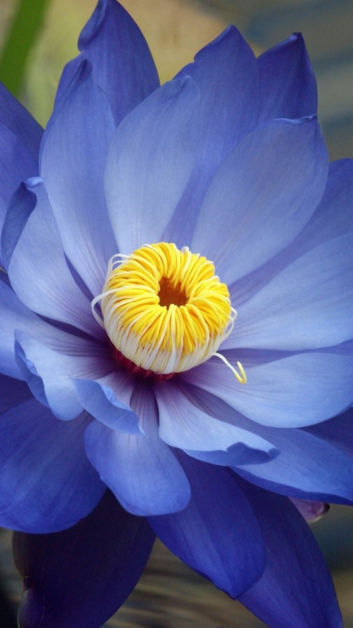 Blue Lotus Also Known As The Blue Egyptian Water Lily Or Sacred