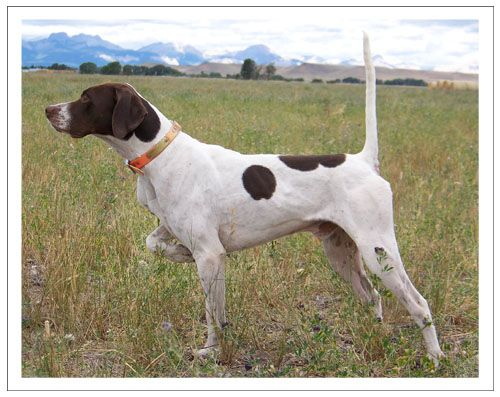 Jim Heckert Kennels Pointers And Bird Dog Training Bird Dogs