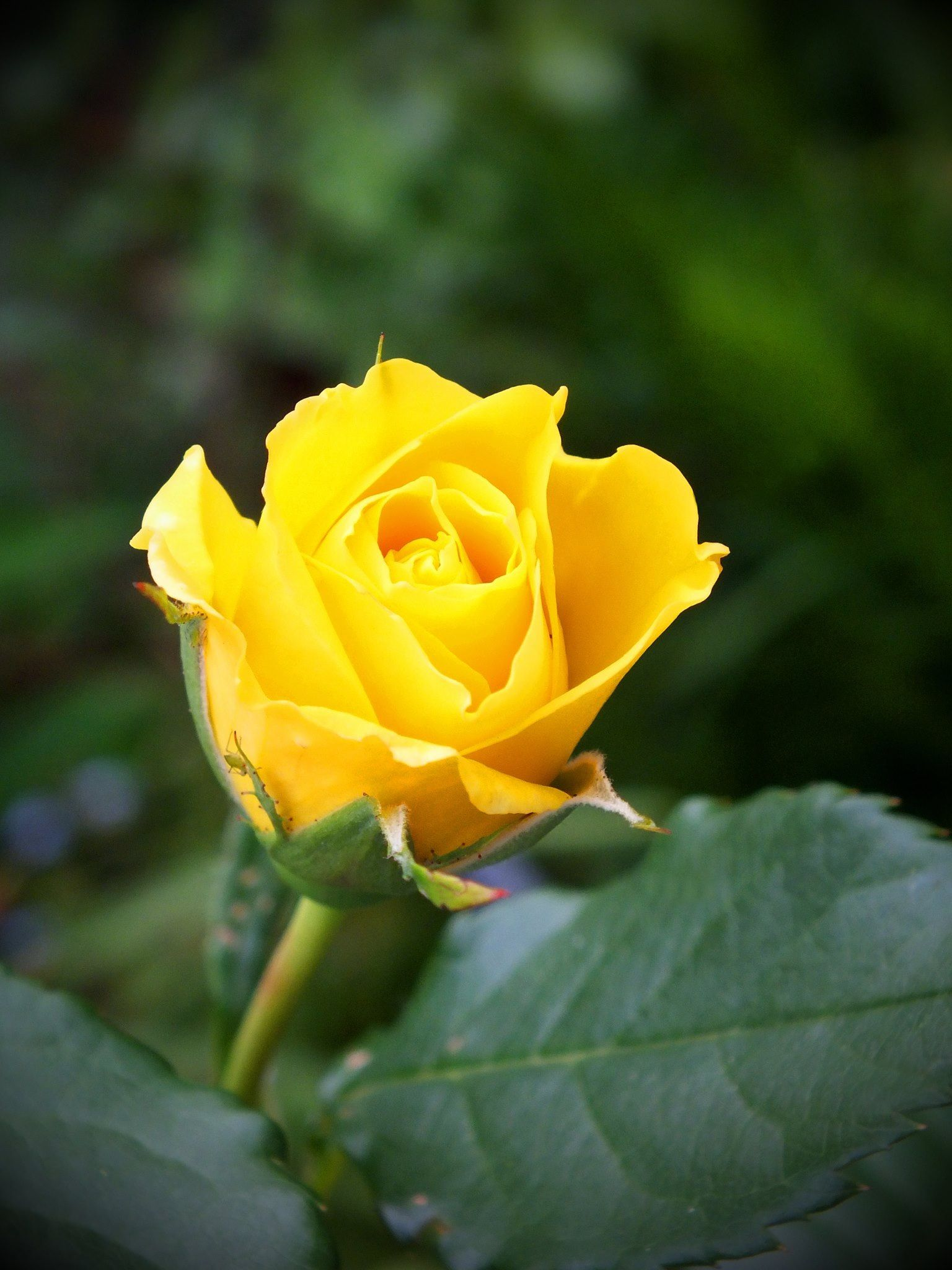 Yellow Rose Of Texas Texas Pinterest Texas Flowers And Gardens
