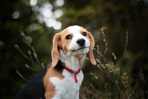 PUP #beagle