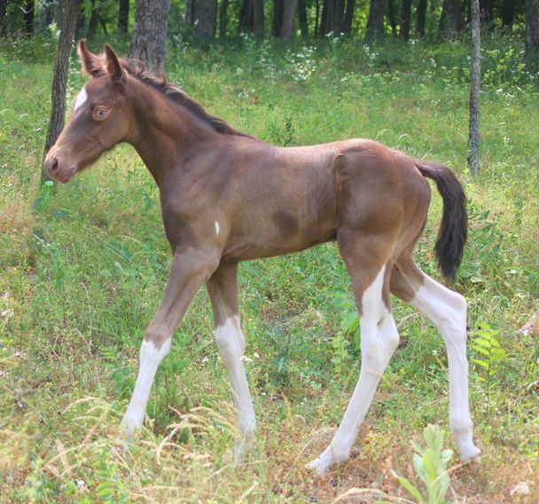 """A """"JJ"""" classic Tobiano foal.  Classic champagne is the darker color.  Mare is a spotted Missouri Fox Trotter."""