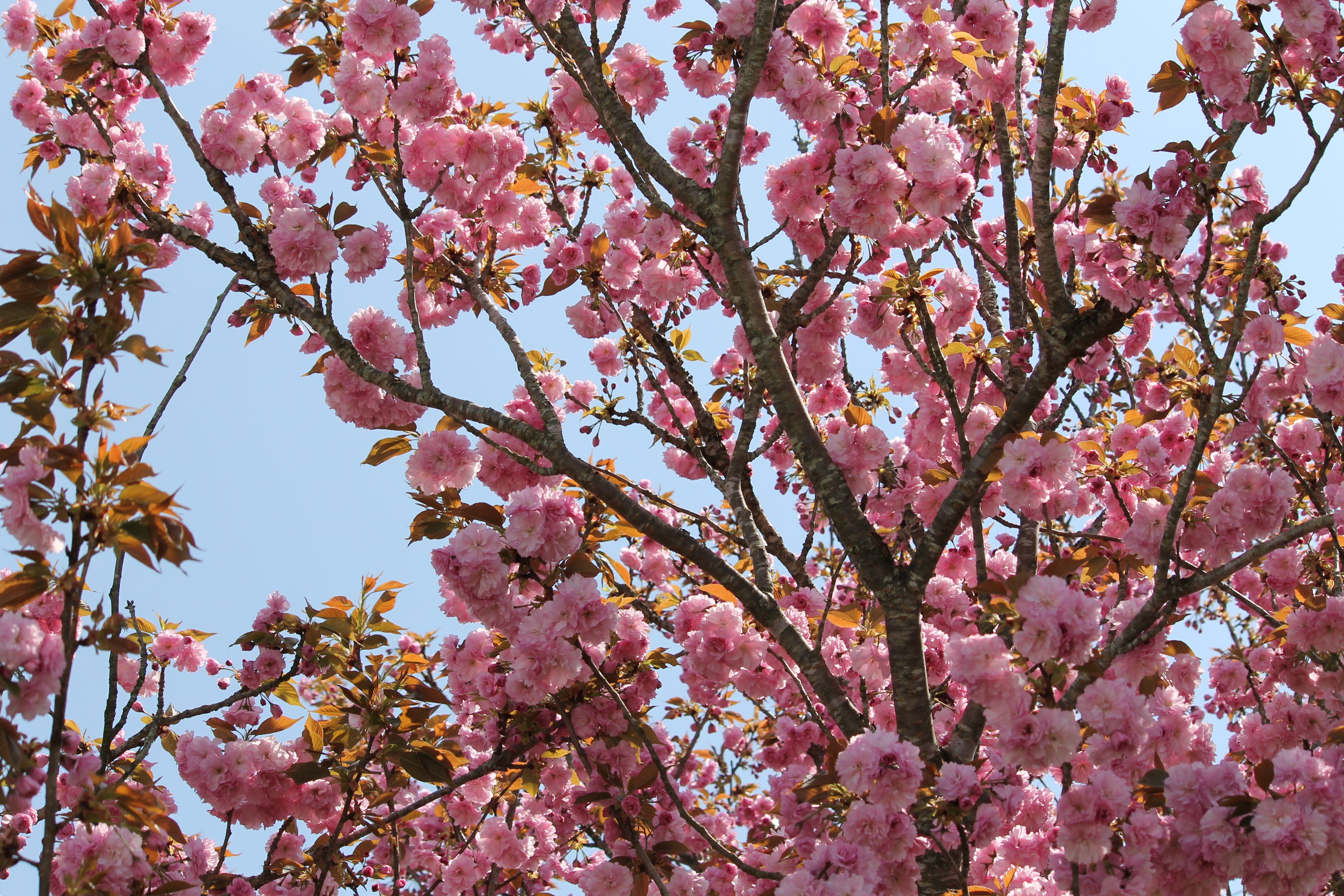 Mock Cherry Tree Near My Front Porch Grandmas Garden Cherry Tree Flower Petals