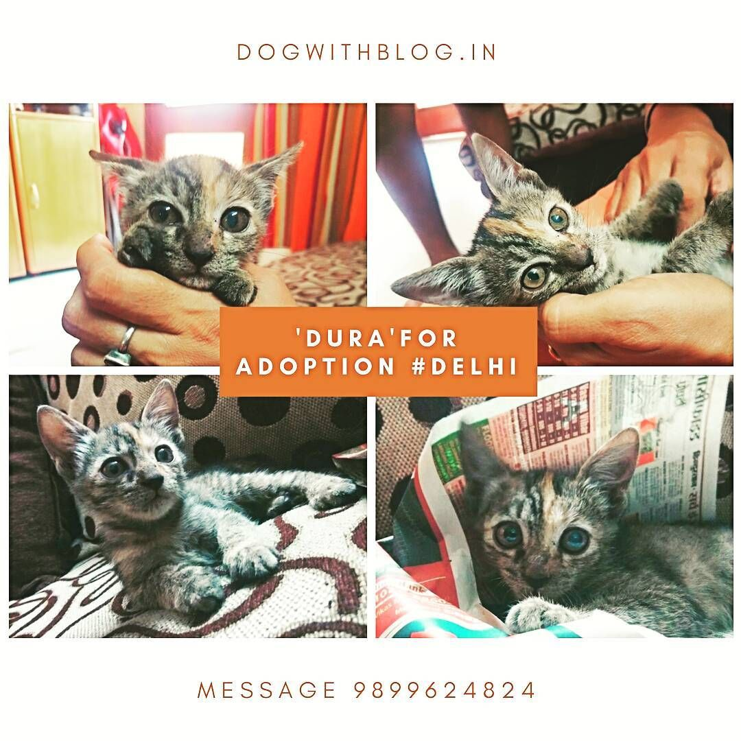 Dura A 40 Day Old Kitten With Beautiful Eyes Needs A Loving Home Delhi She Is A Hyperactive Kitten Who Loves Being Cuddled To Ado In 2020 Adoption Kitten Cuddling