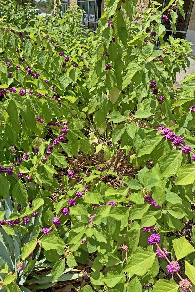 How To Grow And Care For American Beautyberry Shrubs Growing