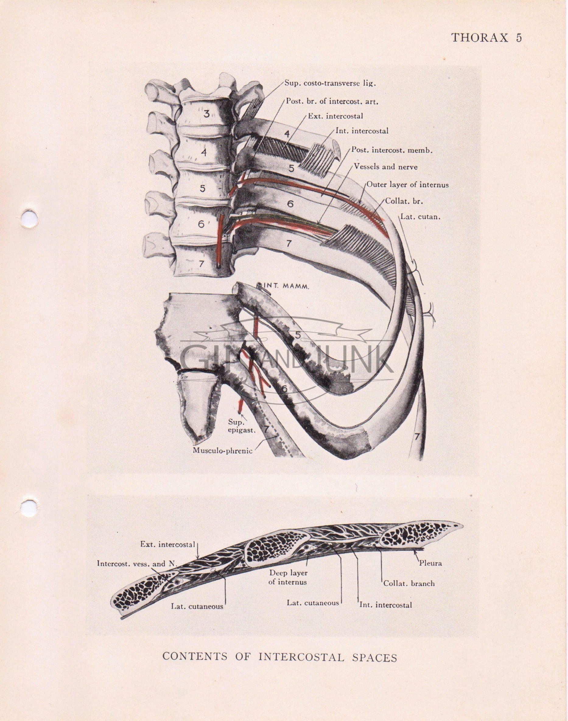 Vintage Anatomical Print, Antique Medical Drawing, Intercostal ...