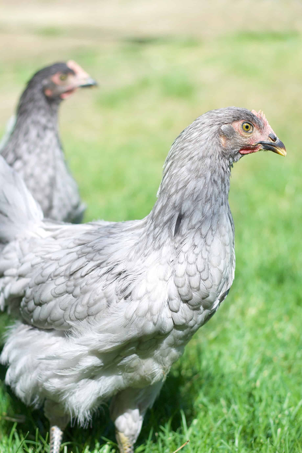How to keep backyard chickens: Tips from a farm girl ...