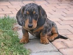 Silver Dapple Dachshund For Sale Simaxdal Miniature Shorthaired