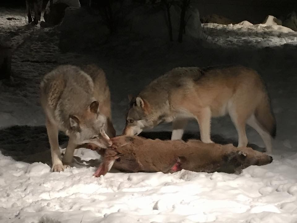 Wolves Eating Deer Gray Wolf Wikipedia Wolves Wolf
