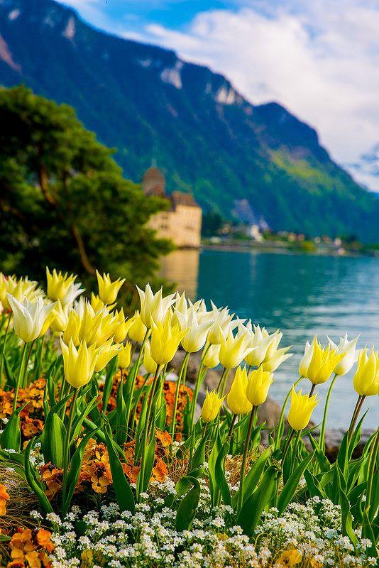 Lake Geneva Yellow Tulips of Switzerland, Spring time