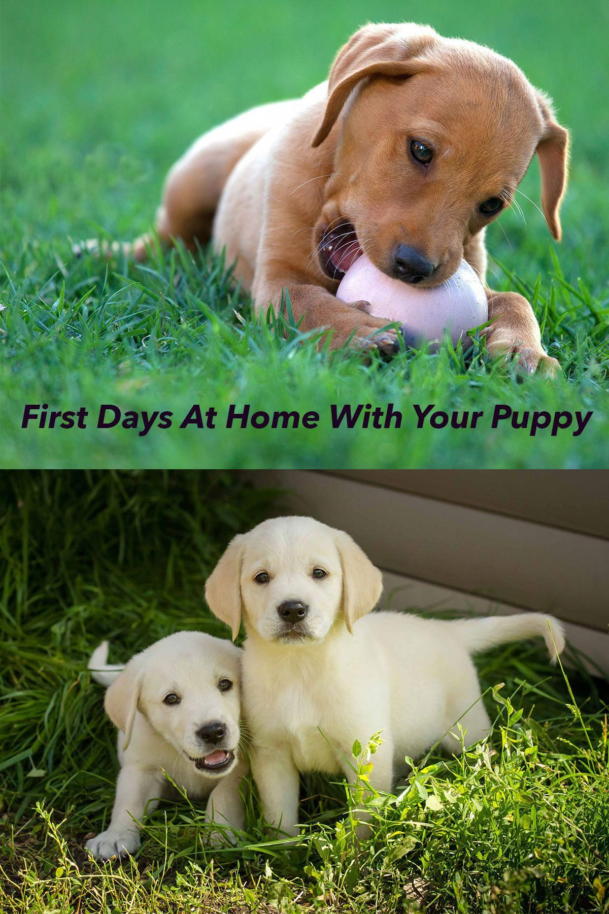 Those First Few Days At Home With Your New Labrador Puppy Can Be Challenging We Show You How To Make That First Month A Magical Ti Dog Training Diy Puppi