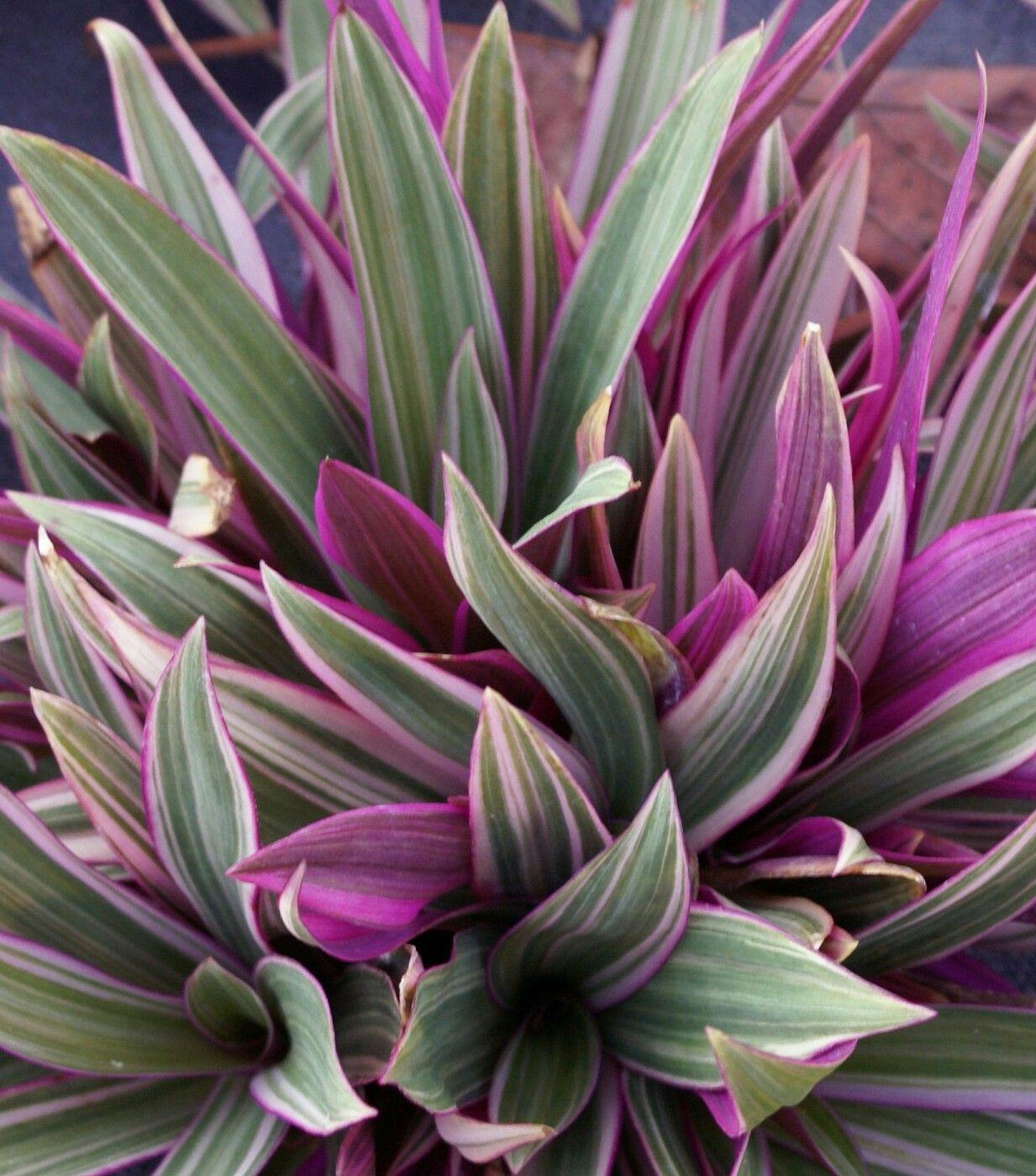 Roeo 'Stripe Me Pink' | Plants, Succulents, Ornamental grasses