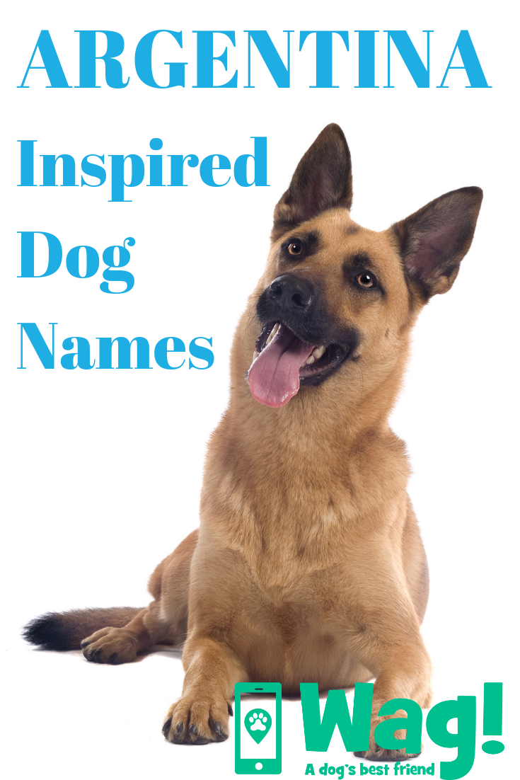 Argentina Dog Names Wag Top Dog Names Belgian Malinois Dog
