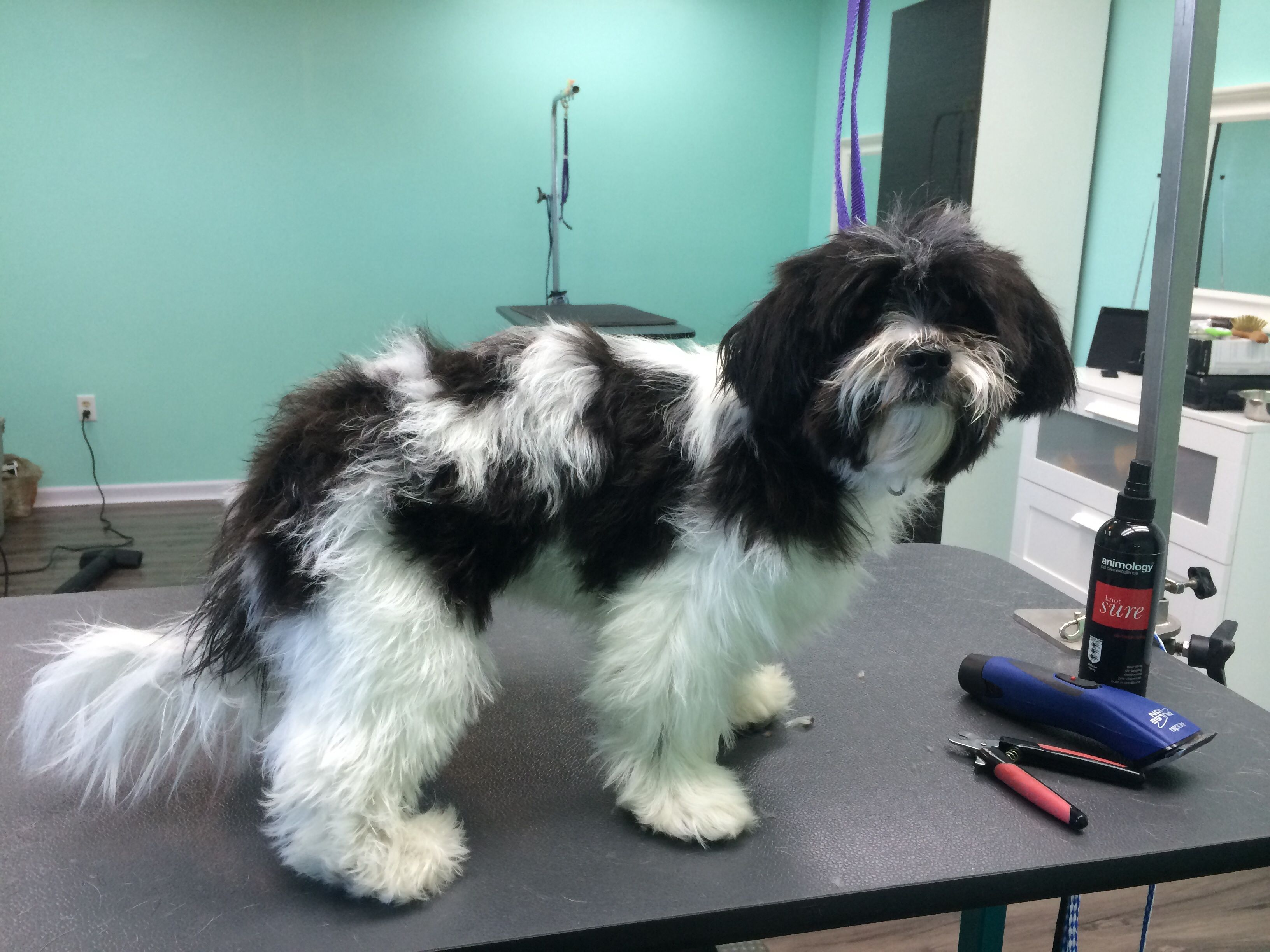 Mima Is A Teddy Bear Before Makeover Www Theupscaletail Us Pet Grooming Dog Cat Makeover