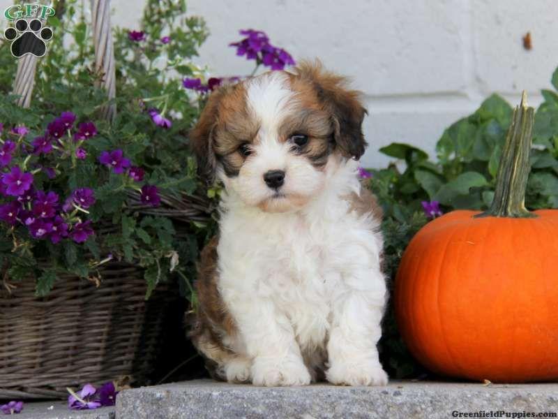 Caramel Cavachon Puppy For Sale From Narvon Pa Cavachon