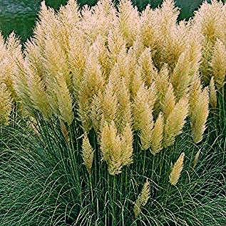 Photo of White Feather Pampas Grass
