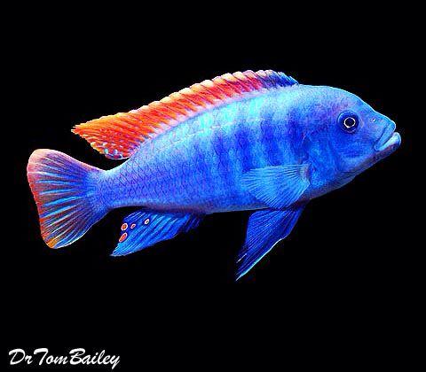Red Top Greshakei Featured Item Red Top Greshakei Cichlid Cichlids Fish Petfish Aquarium Aquariums Freshwate African Cichlids Cichlid Fish Pet Fish