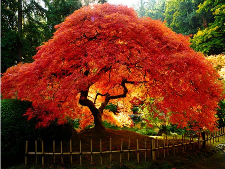 Rboles de colores y jard n japones acer japan and for Arboles jardineria