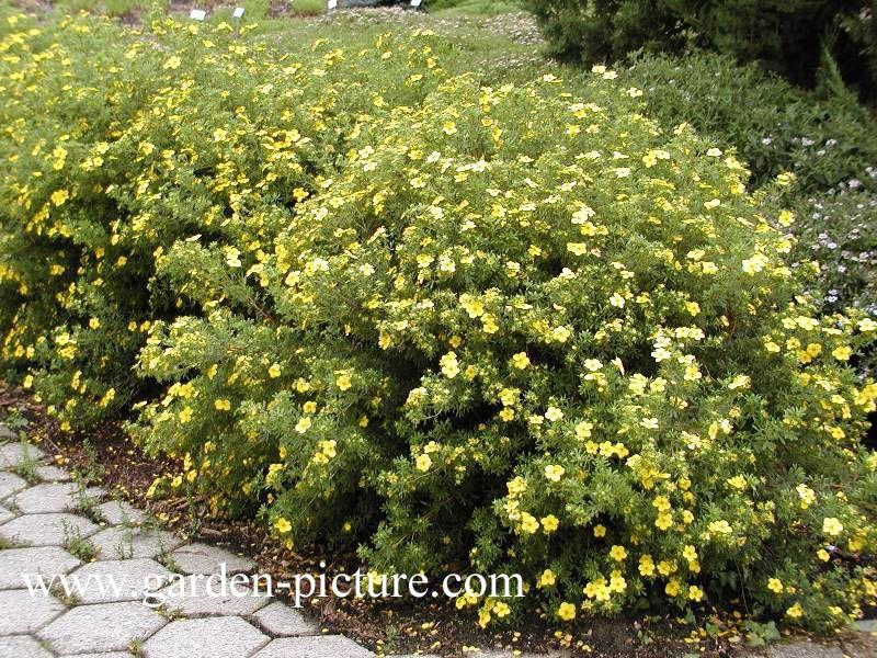Goldfinger shrub Pictures and description of Potentilla fruticosa