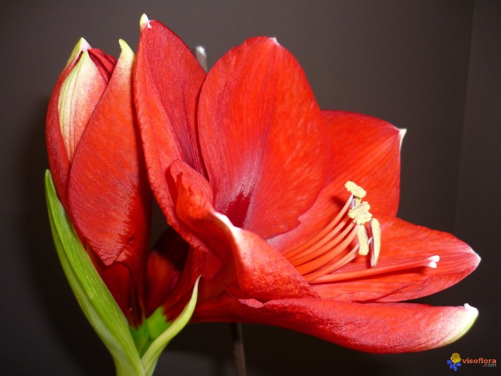 Hippeastrum royal red hipeastrum amaryllis pinterest for Amaryllis royal red entretien