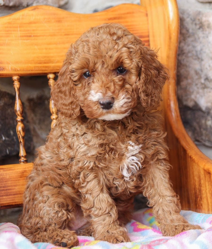 Pin By Terri Leach On Puppies In 2020 Cockapoo Puppies Puppies Cockapoo