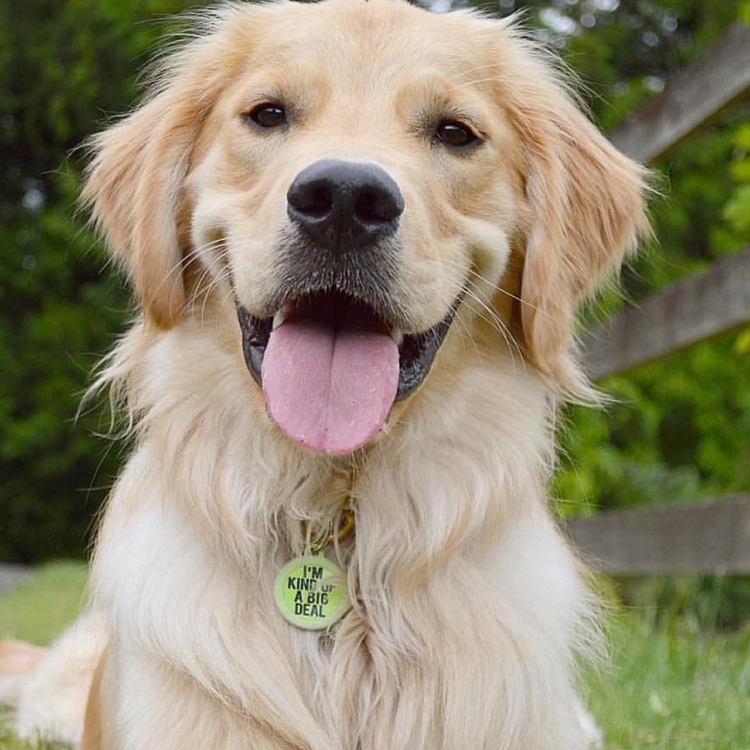 Instagram Golden Retriever Retriever Golden Retriever Smile