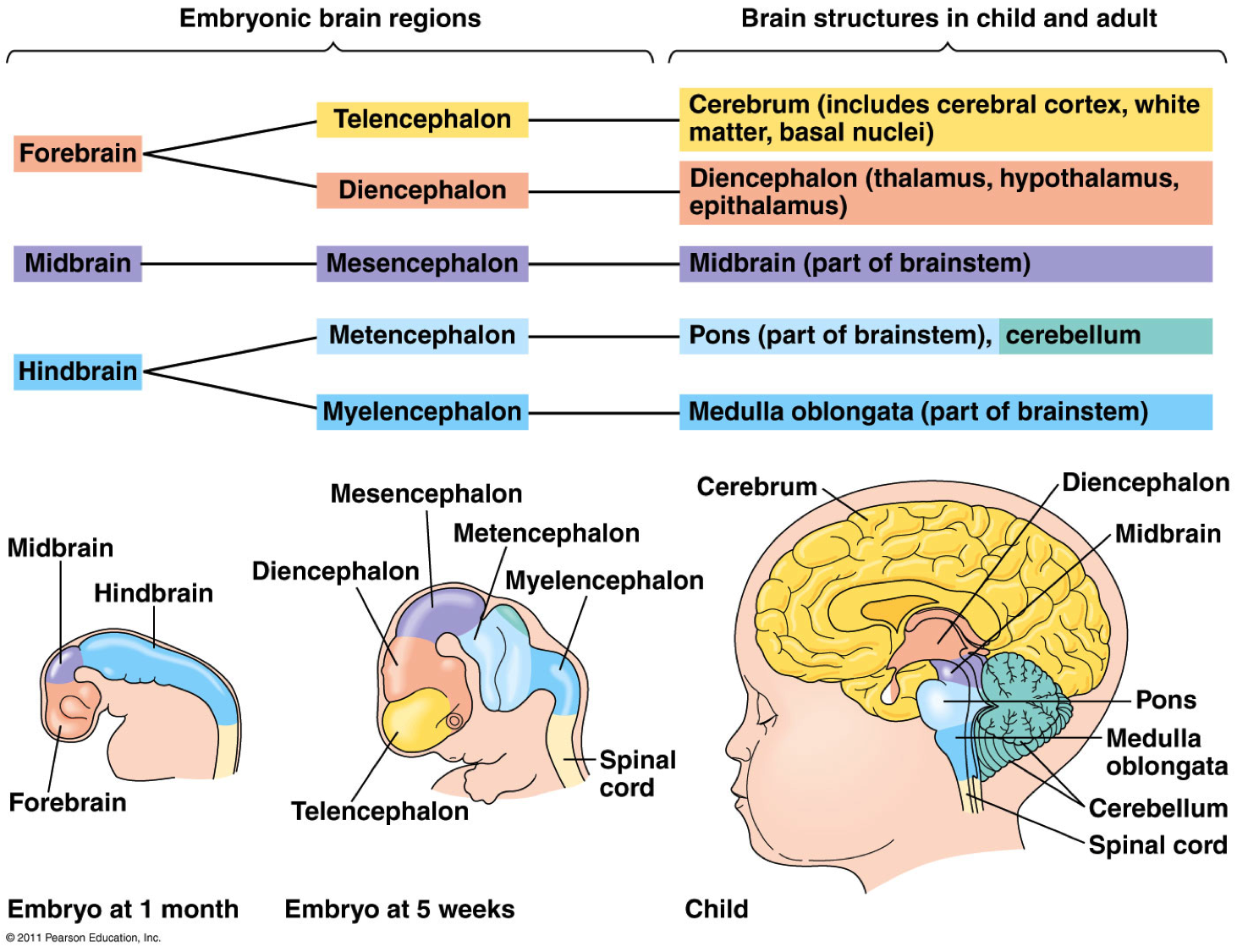 Brain Development | www.imgkid.com - The Image Kid Has It!
