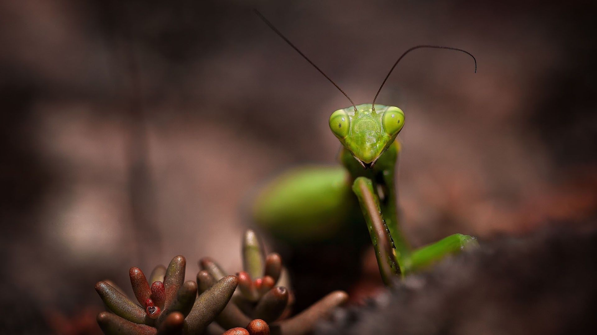 mantis, insect, mustache - http://www.wallpapers4u.org/mantis-insect-mustache/
