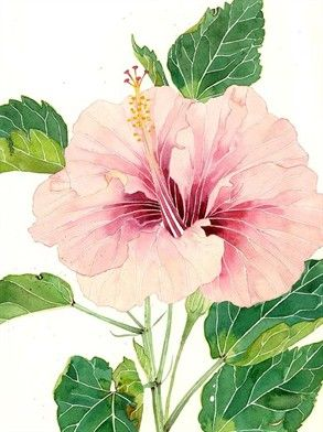 Art Pale Pink Hibiscus Watercolour By Gabby Malpas