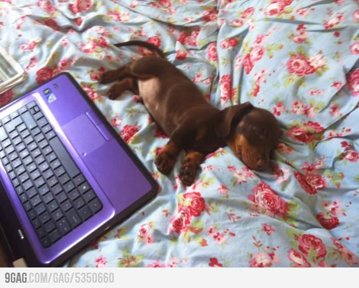 Sleeping Sausage Weenie Dogs Dachshund Love Animals