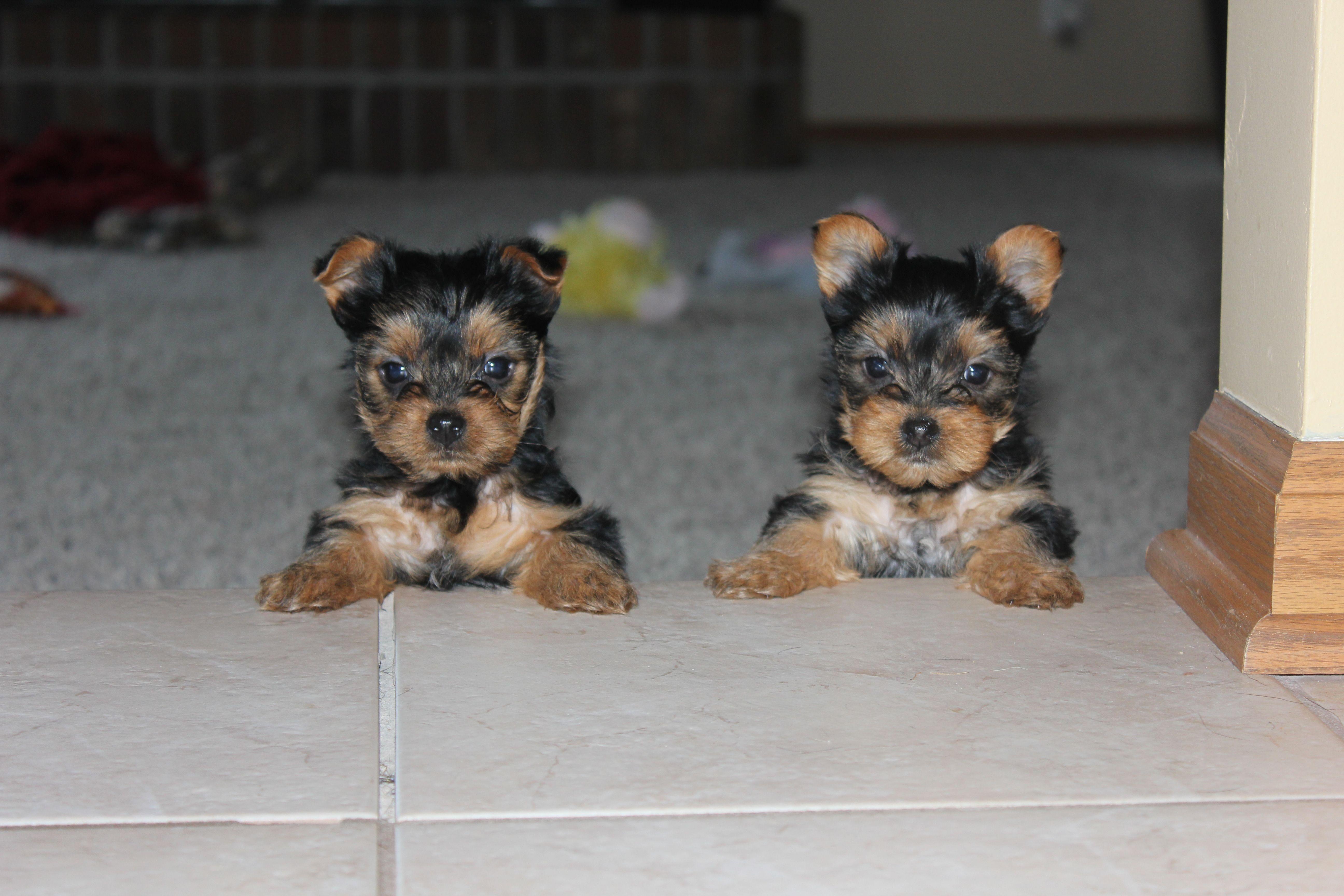 8 Week Old Yorkie Sisters Yorkie Lovers Yorkie Yorkie Puppy