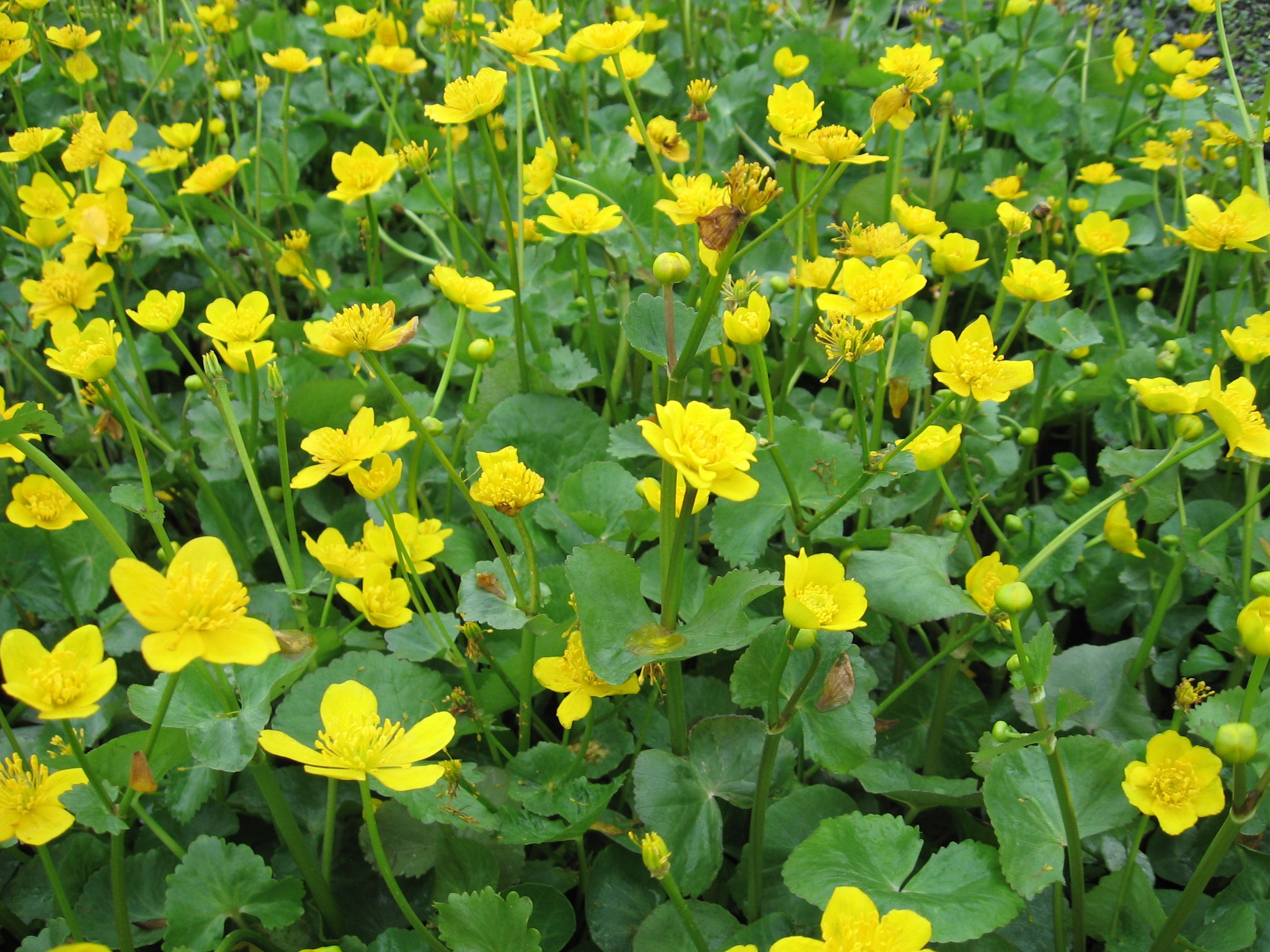 Caltha palustris marsh marigold low growing plant of for Garden trees with yellow flowers