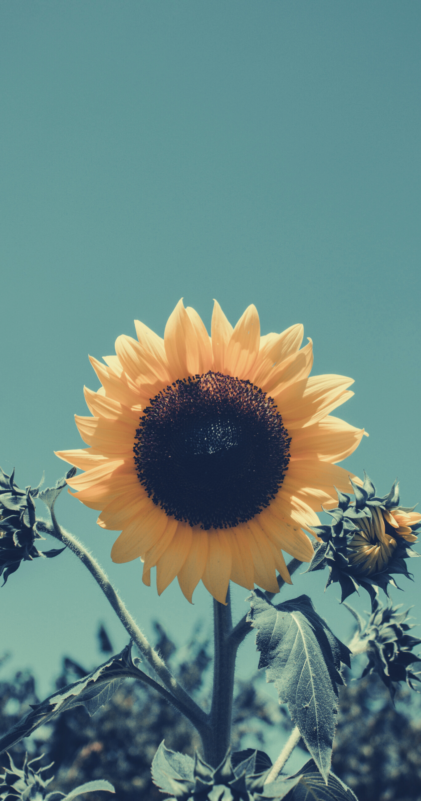 Wallpapers For Iphone In 2020 Sunflower Wallpaper Sunflower Pictures Sunflowers Background
