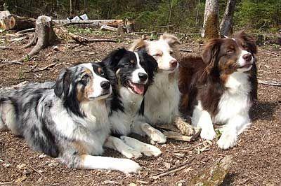 Miniature American Shepherd And Miniature Australian Shepherd Breeders Directory Australian Shepherd Dogs Aussie Dogs Miniature Australian Shepherd